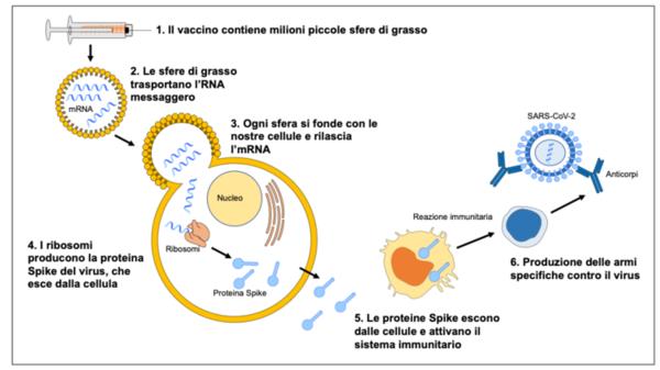 Nuovo Coronavirus: i vaccini a RNA, come funzionano e perché sono sicuri